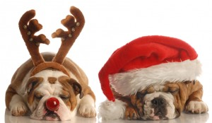 english bulldog - one dressed up as santa the other as rudolph